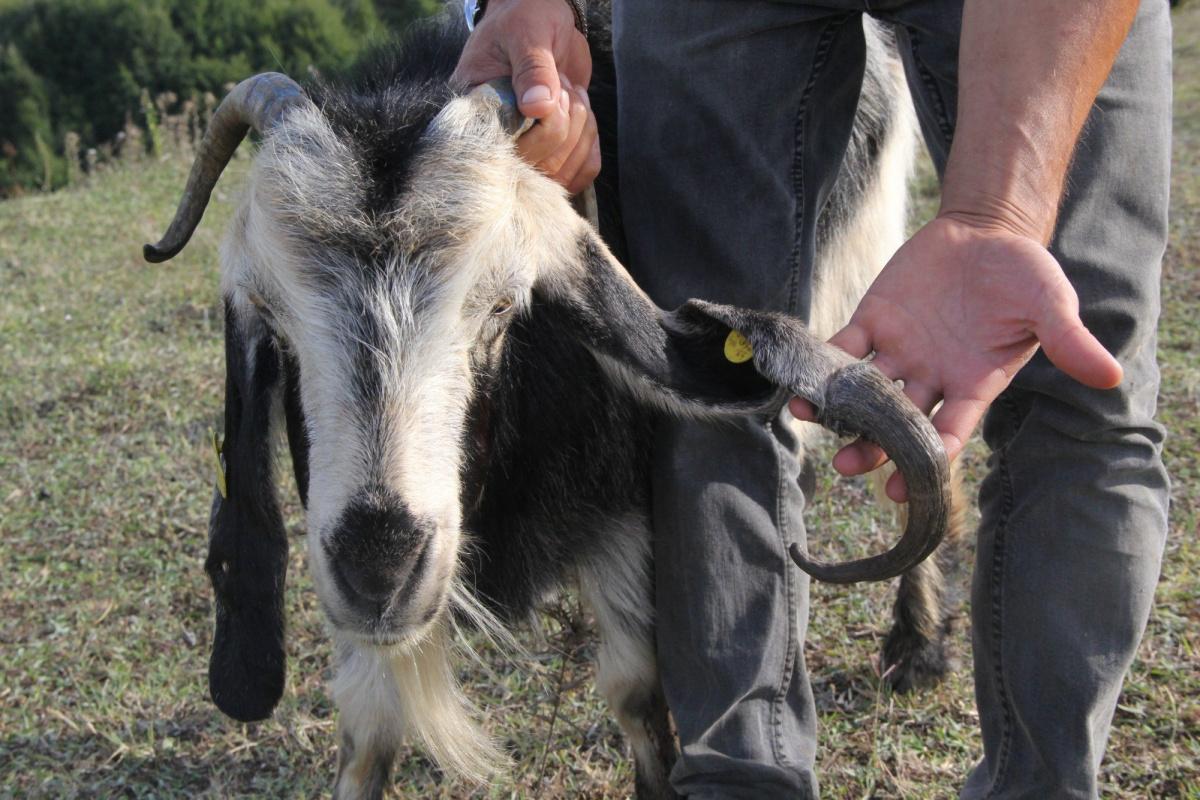 6 ay önce aldığı keçi üç boynuzlu çıktı