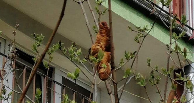 Ağaçta 'iguana' olduğu sanılan nesne 'kruvasan' çıktı