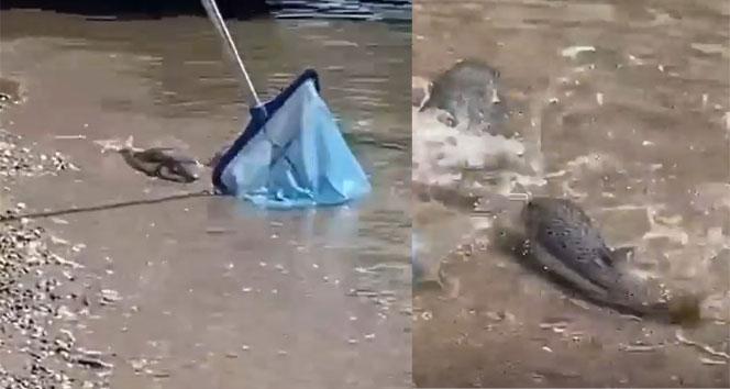 Alanya sahilinde dev balon balıkları sahile vurdu