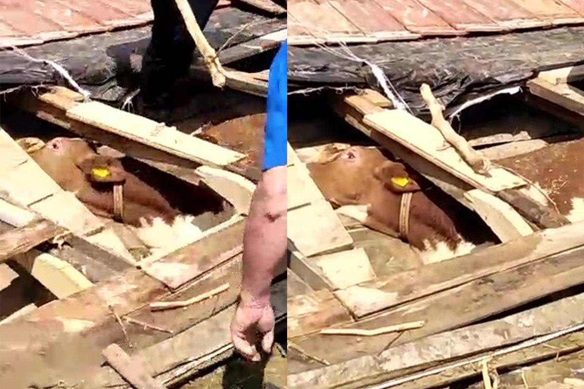 Babaçay'da enkaz altındaki inek canlı olarak kurtarıldı