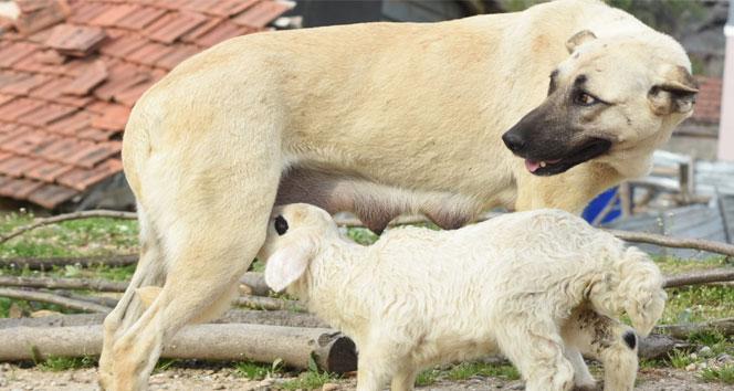 Çoban köpeği, kuzuya süt annelik yapıyor
