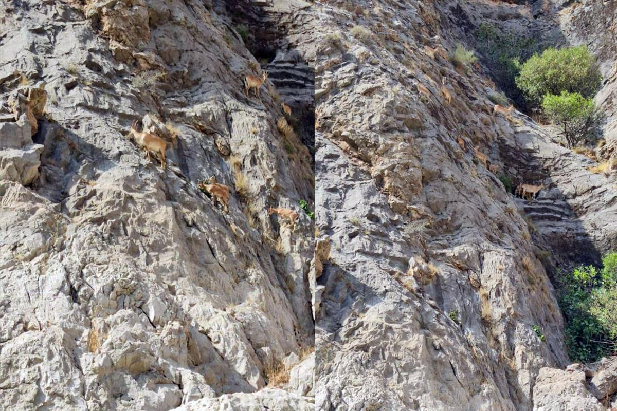Dağ keçilerinin zorlu yolculuğu cep telefonuyla görüntülendi