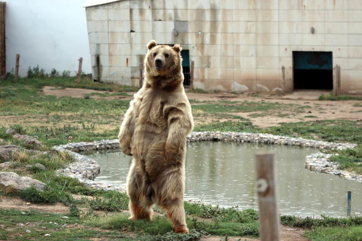 Dron gören ayılar gülümsetti
