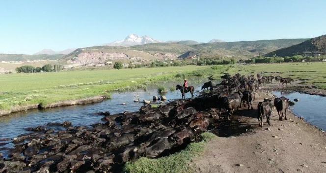 Erciyes dağının eteğinde manda, koyun ve yılkı atlarının görsel şovu