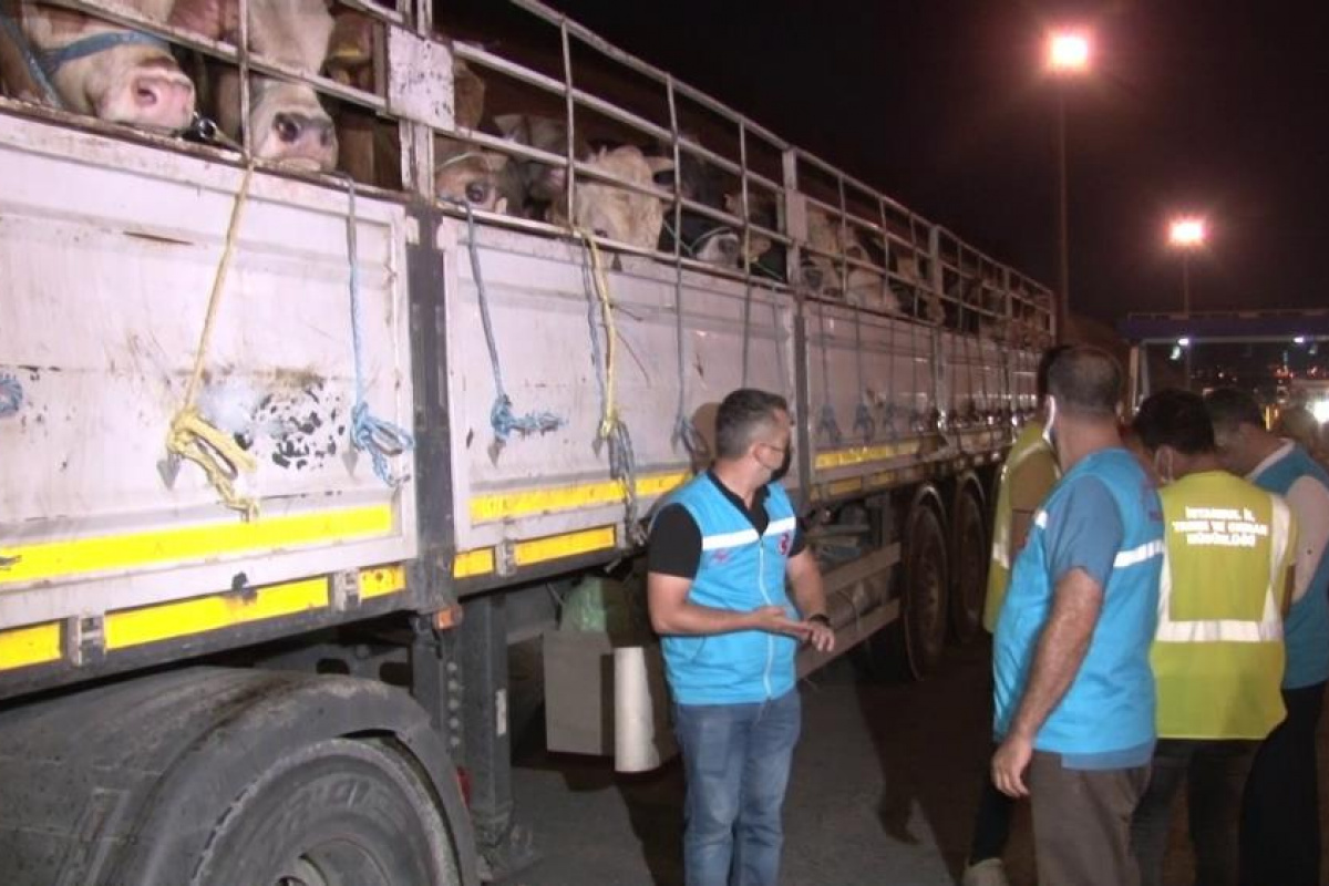 İstanbul'a kurbanlık hayvanların girişi başladı