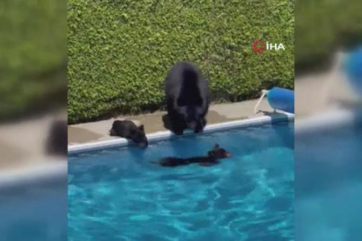 Kanada'da rekor sıcaklıklardan bunalan ayılar çareyi havuzda buldu