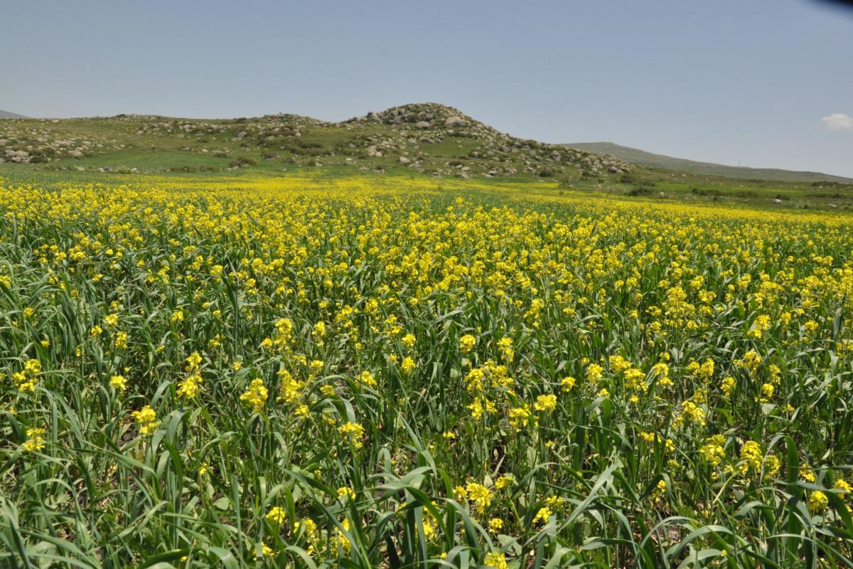 Kars'ta tarlalarda açan 'sarı çiçekler' görsel şölen sundu