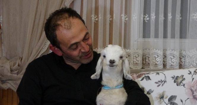 Kendisine hediye edilen keçi yavrusuna evladı gibi bakıyor