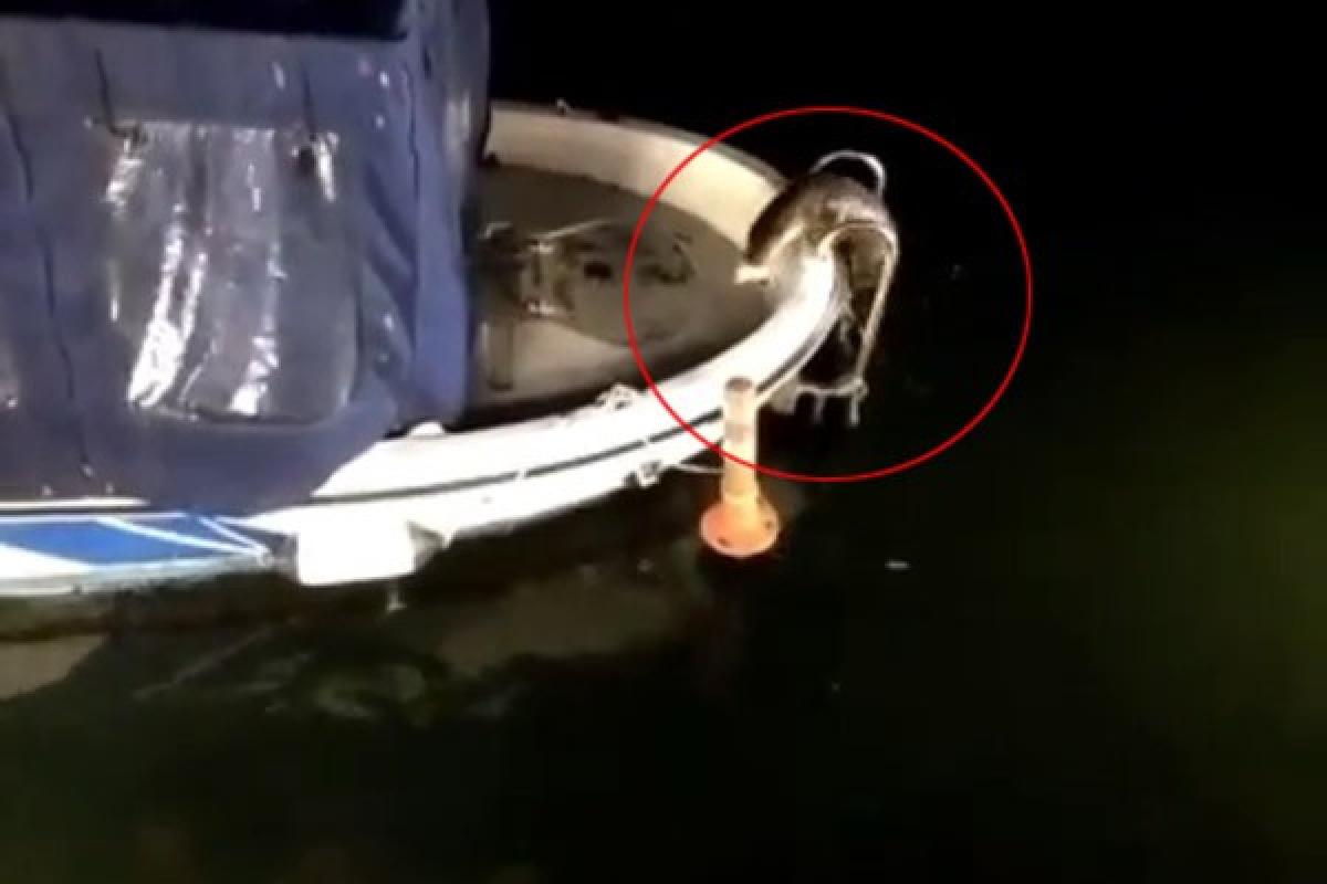 Küçükçekmece Gölü'nde nesli tükenme tehlikesi altındaki su samurları görüldü