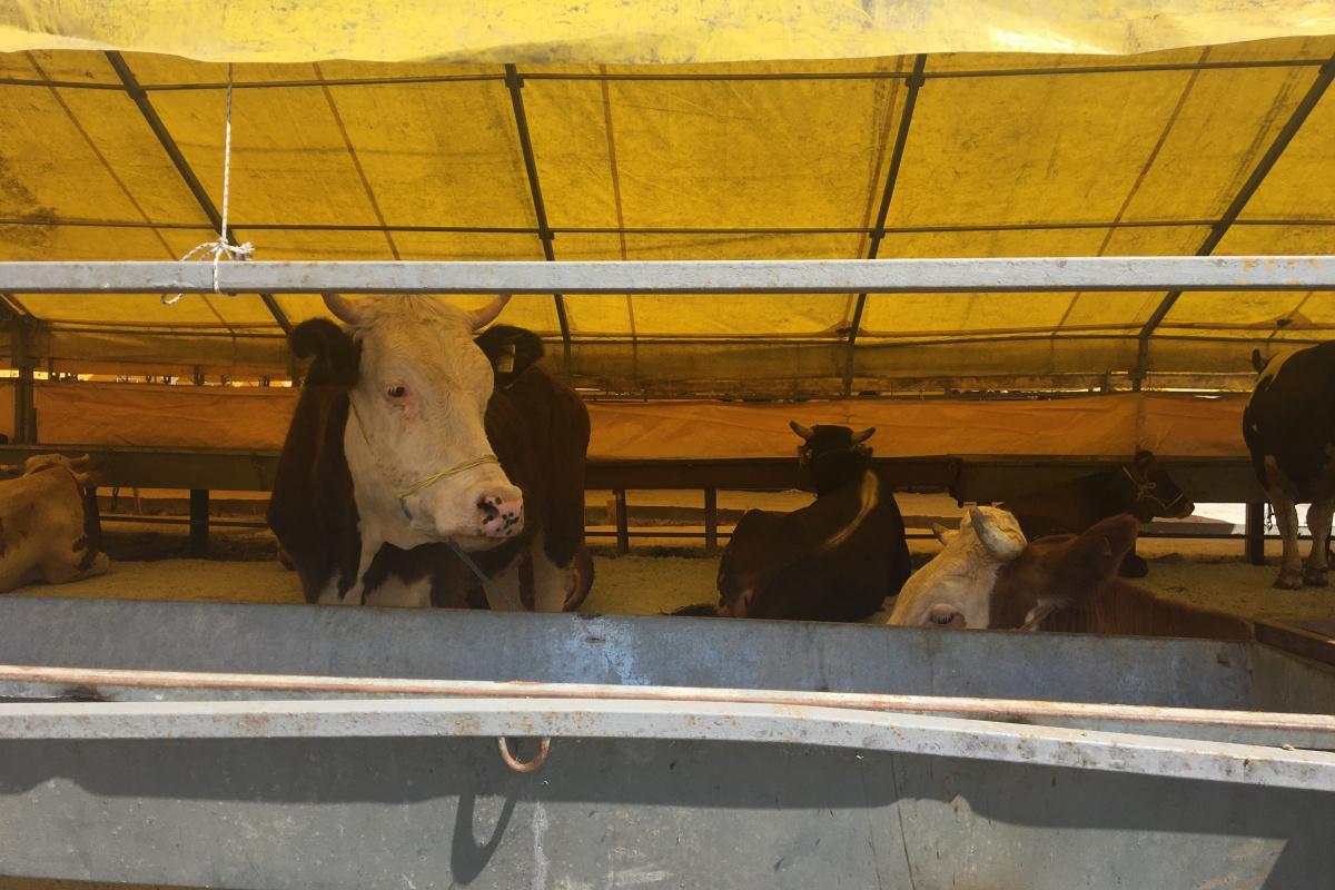 Kurbanlıklar hayvan pazarında satışa çıktı