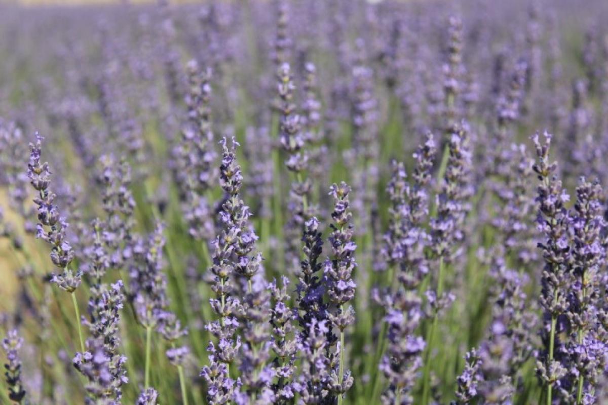 Lavanta çiçeklerinden kozmetik ürünler elde edilecek