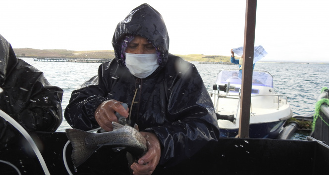 Milyonlarca balık tek tek aşılanıyor