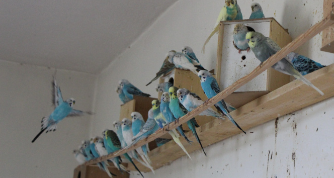 Muhabbet kuşu yetiştirip yok satan tek okul