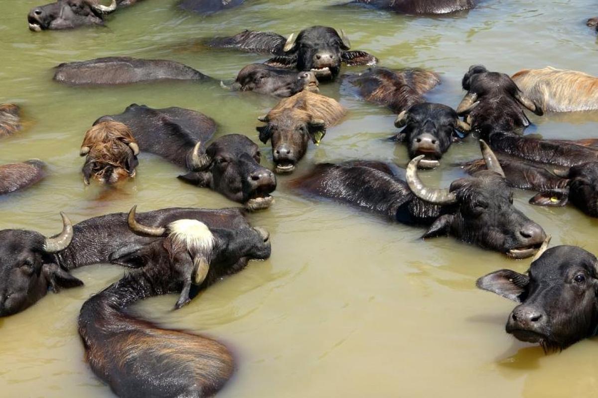 Sıcaktan bunalan mandalar nehirde serinliyor!