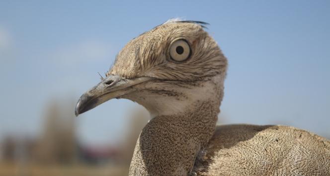 Son 100 yılda sadece iki kez görülen yakalı toy kuşunun tedavisi bitti