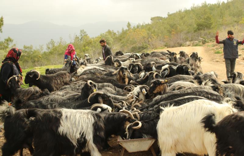 Tüm et ve süt ürünleri aynı değil! İklim Krizi ve Hayvancılık