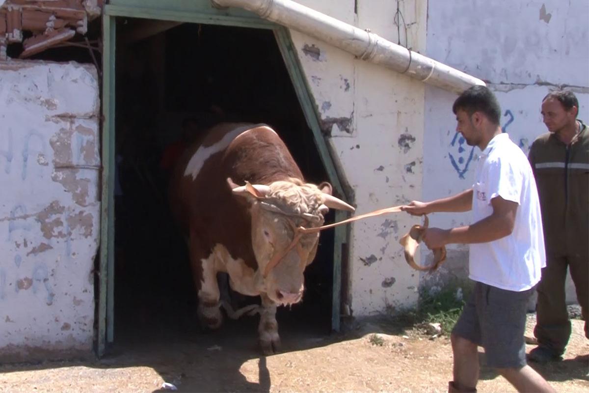 Tuzla'daki kurban pazarının gözdesi 1.5 tonluk 'Minik' alıcısını bekliyor