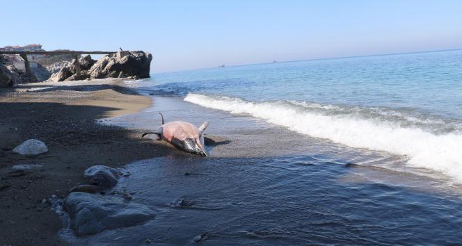 Zonguldak'ta ölü yunus kıyıya vurdu