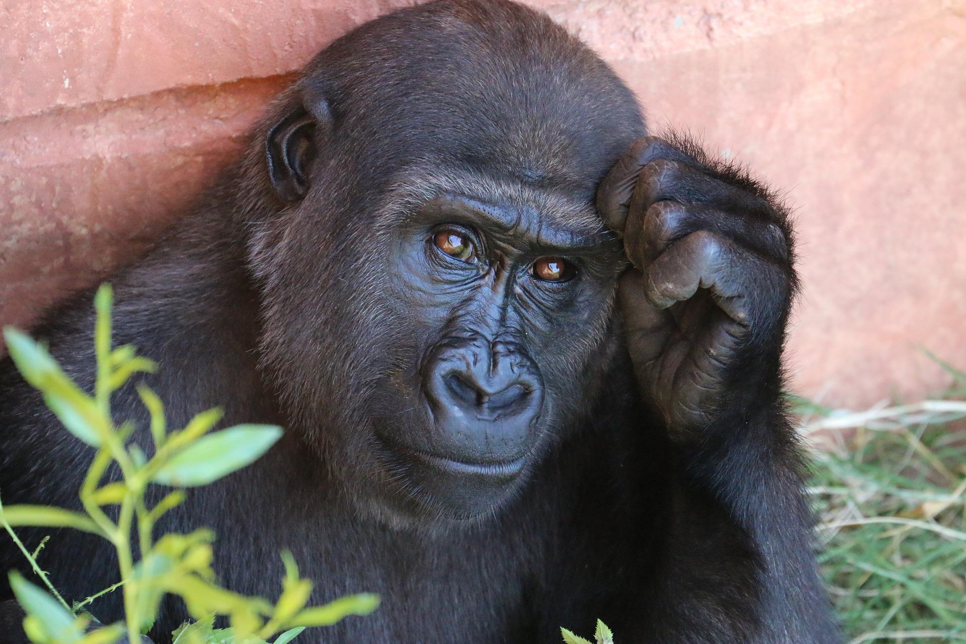 ABDde gorillere özel koronavirüs aşısı yapılacak