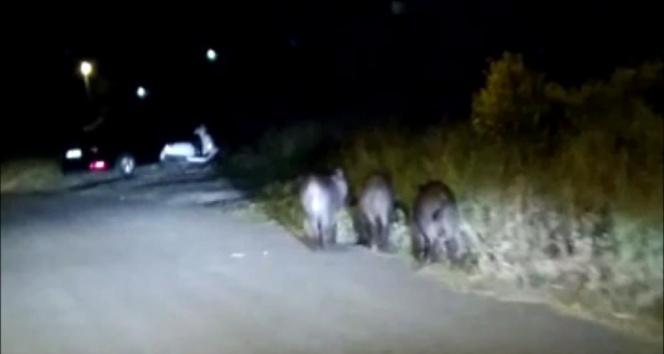 Aç kalan domuzlar mahalleye indi