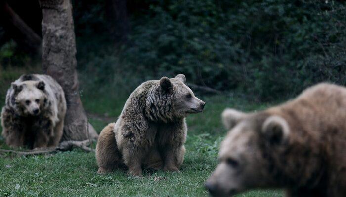 Bursa'daki ayılar kış uykusuna yatmıyor! Bakın nedeni neymiş