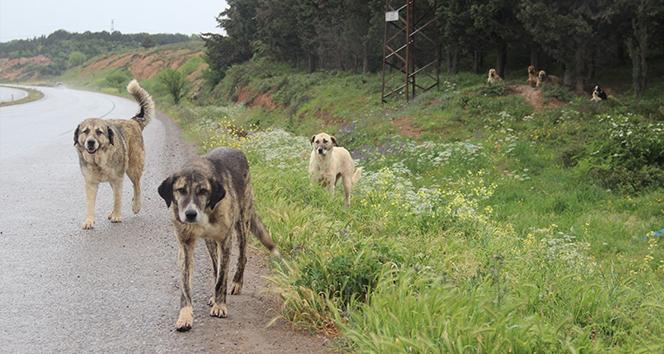 İstanbul'un köpekleri buraya bırakılıyor