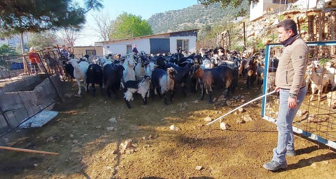 Kaçan keçilerini drone ile arayıp buluyor
