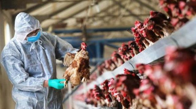 Macaristan'ı kuş gribi sardı! 100 bin tavuk itlaf edildi