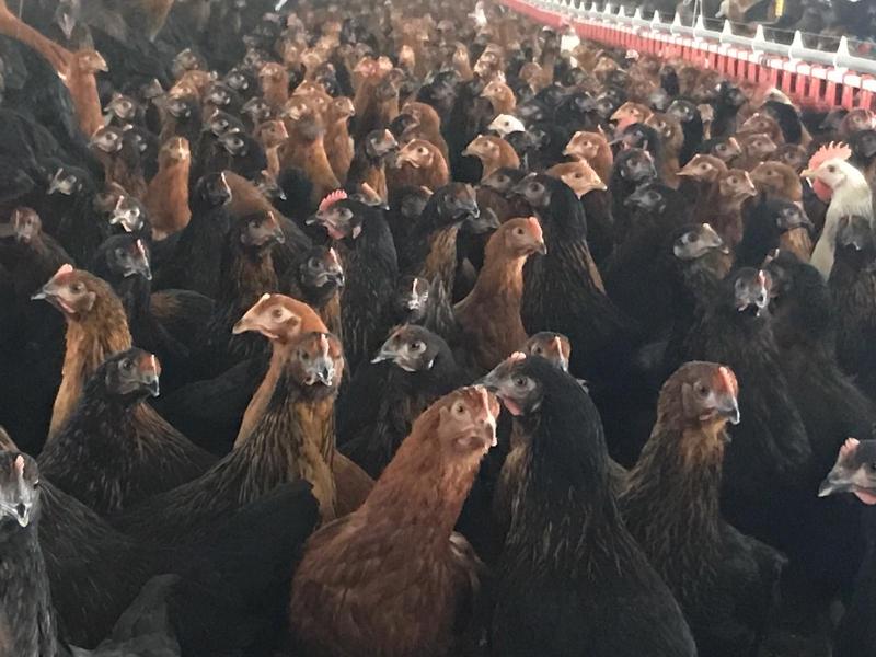 Türkiye'de Yetiştirilebilen Tavuk Irkı