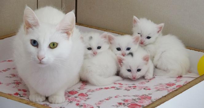 Van kedilerinde birinci parti doğumlar bitti